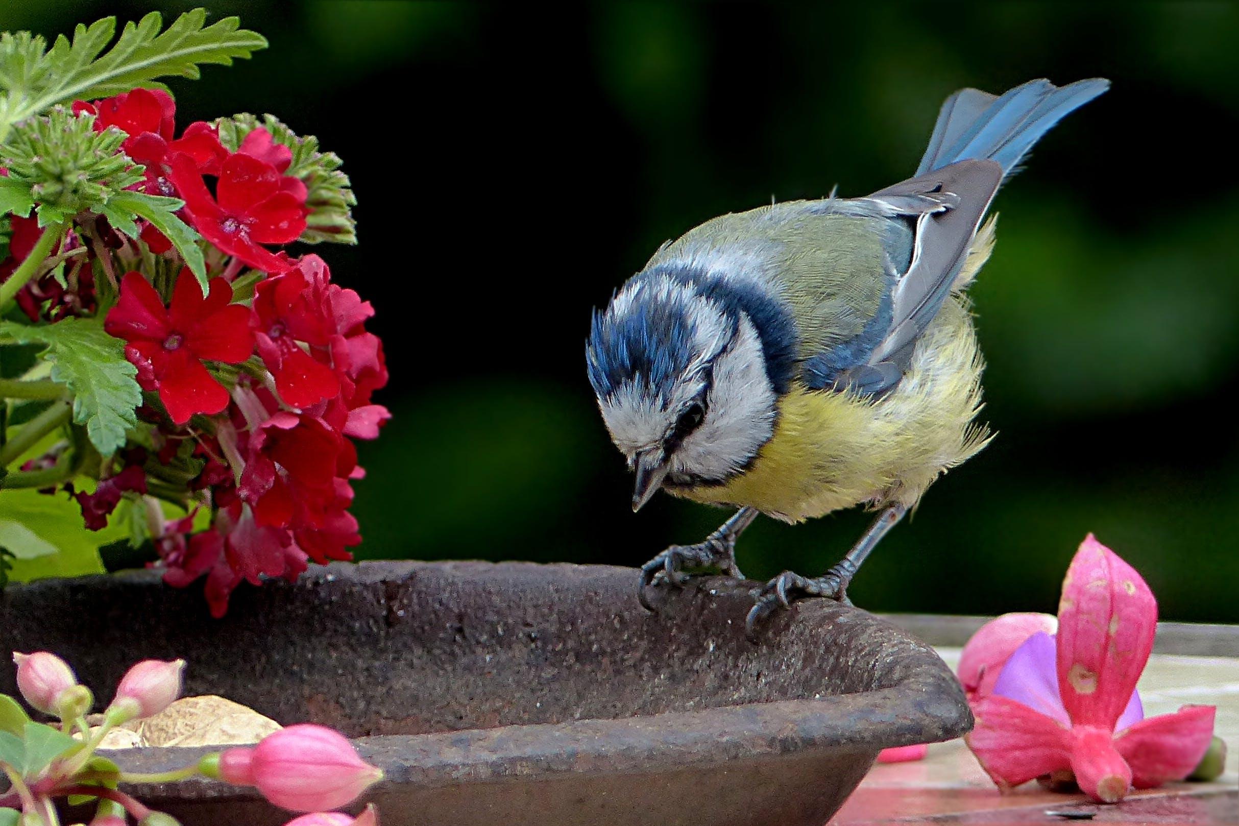 Free stock photo of bird, garden, young, tit