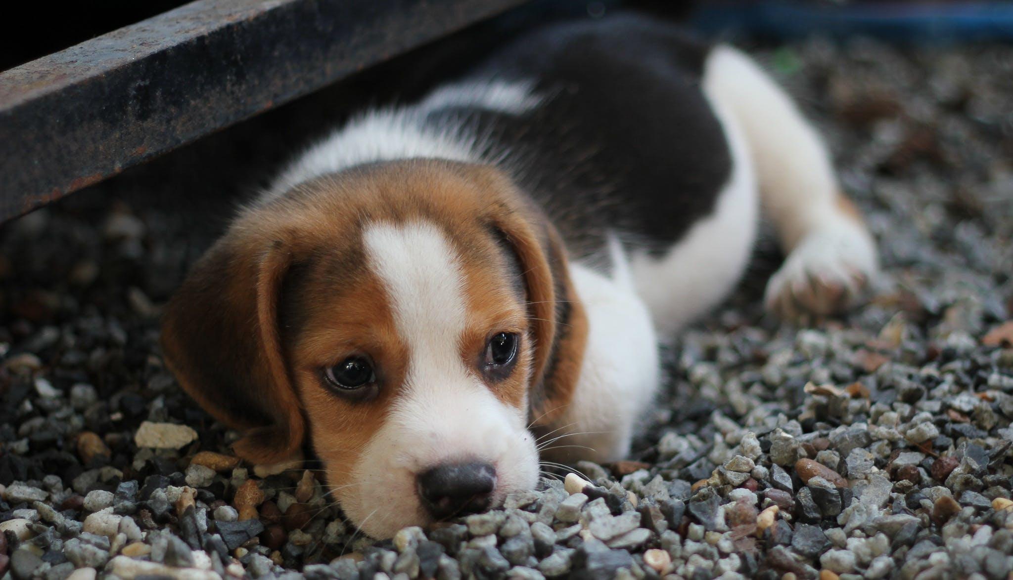 beagle, βλέπω, βράχια