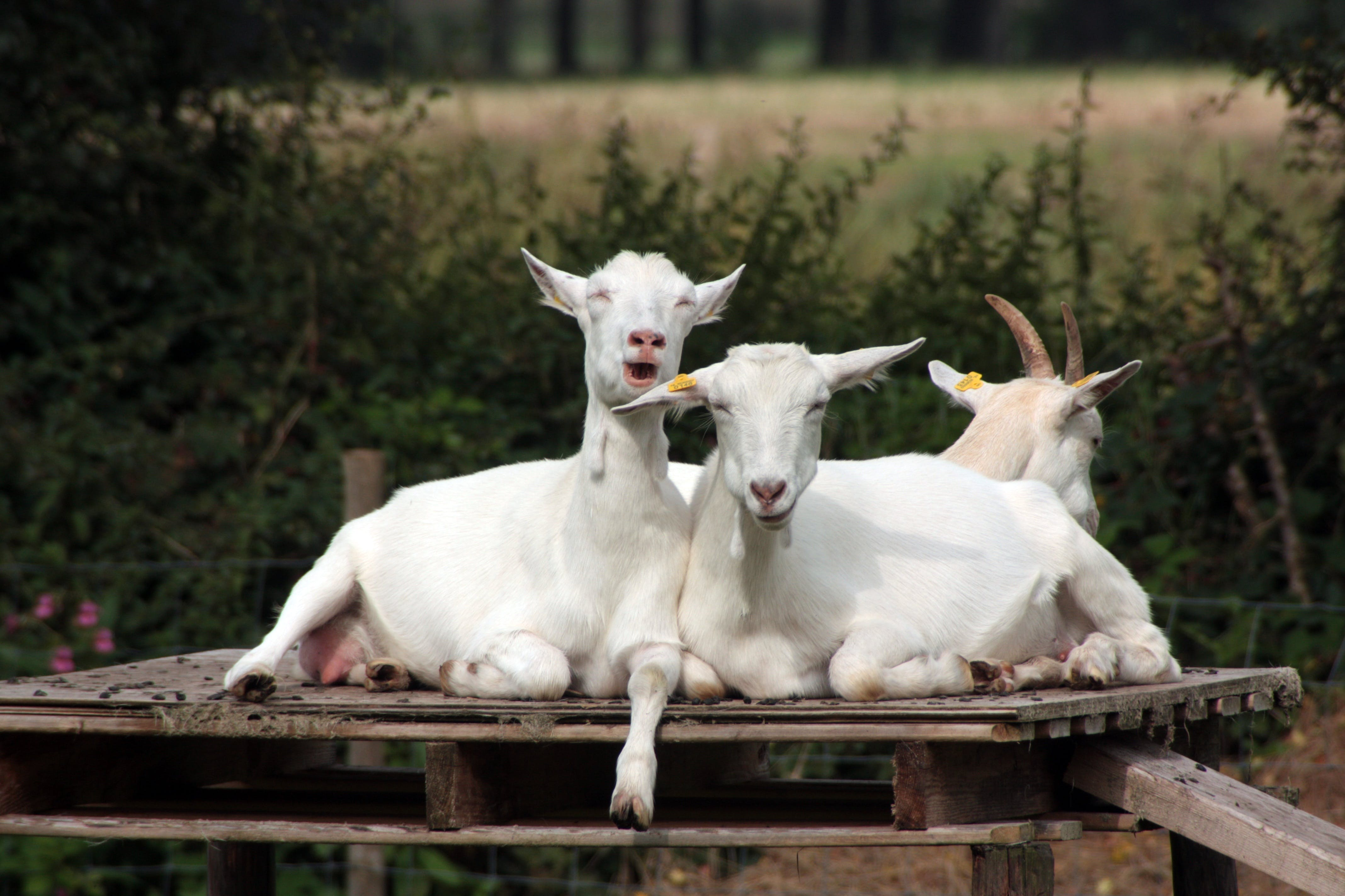 Free stock photo of animals, crazy goats, farm, funny