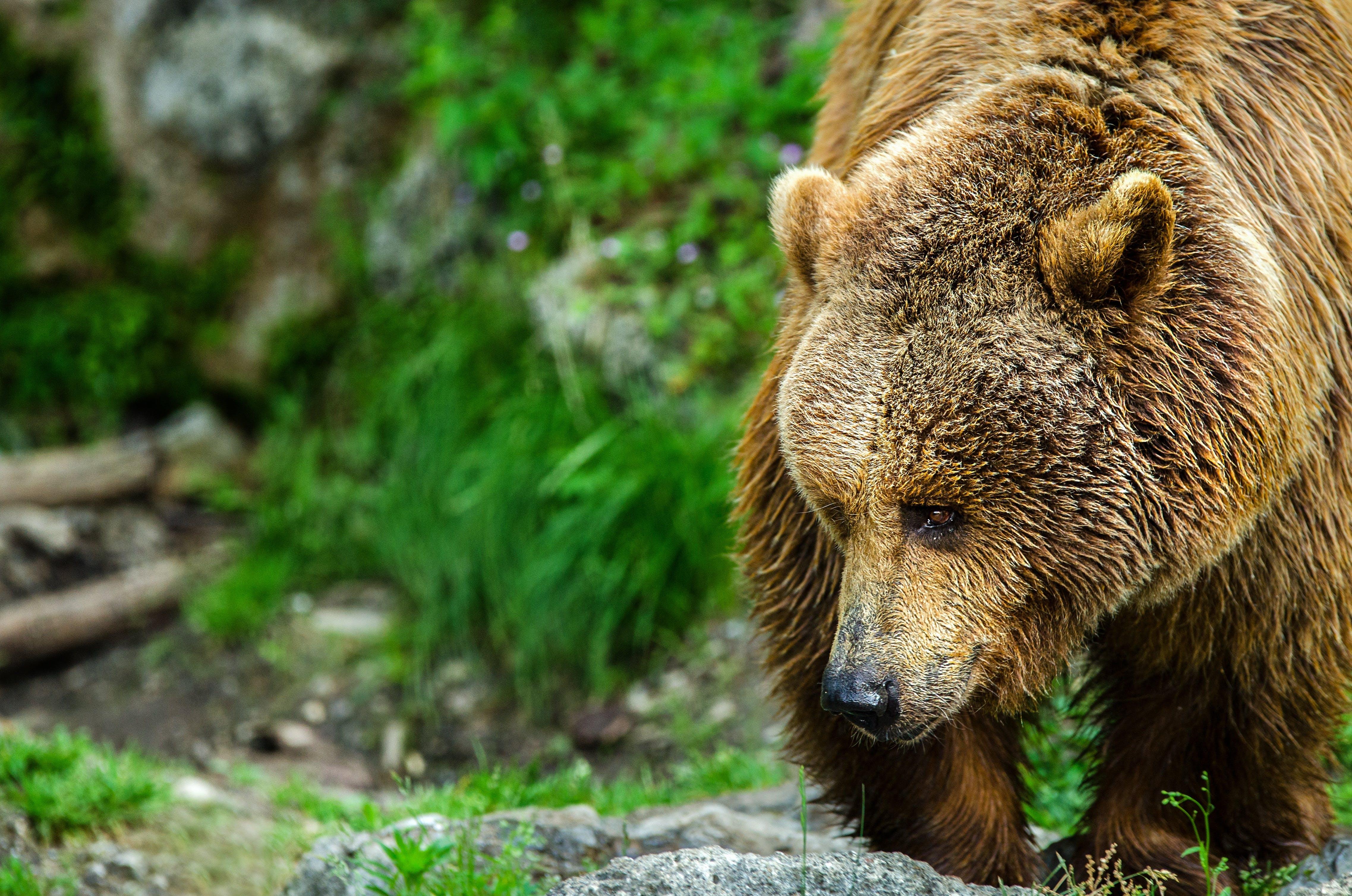 Free stock photo of fur, brown, zoo, bear