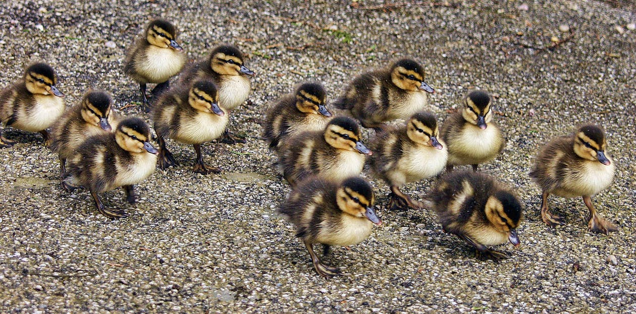 Flock of Ducklings