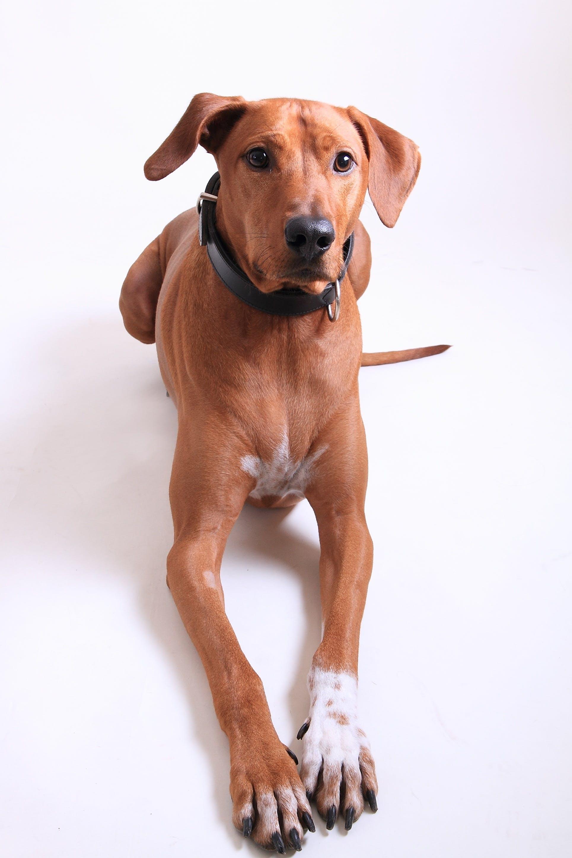 Kostenloses Stock Foto zu gucken, häuslich, haustier, hund