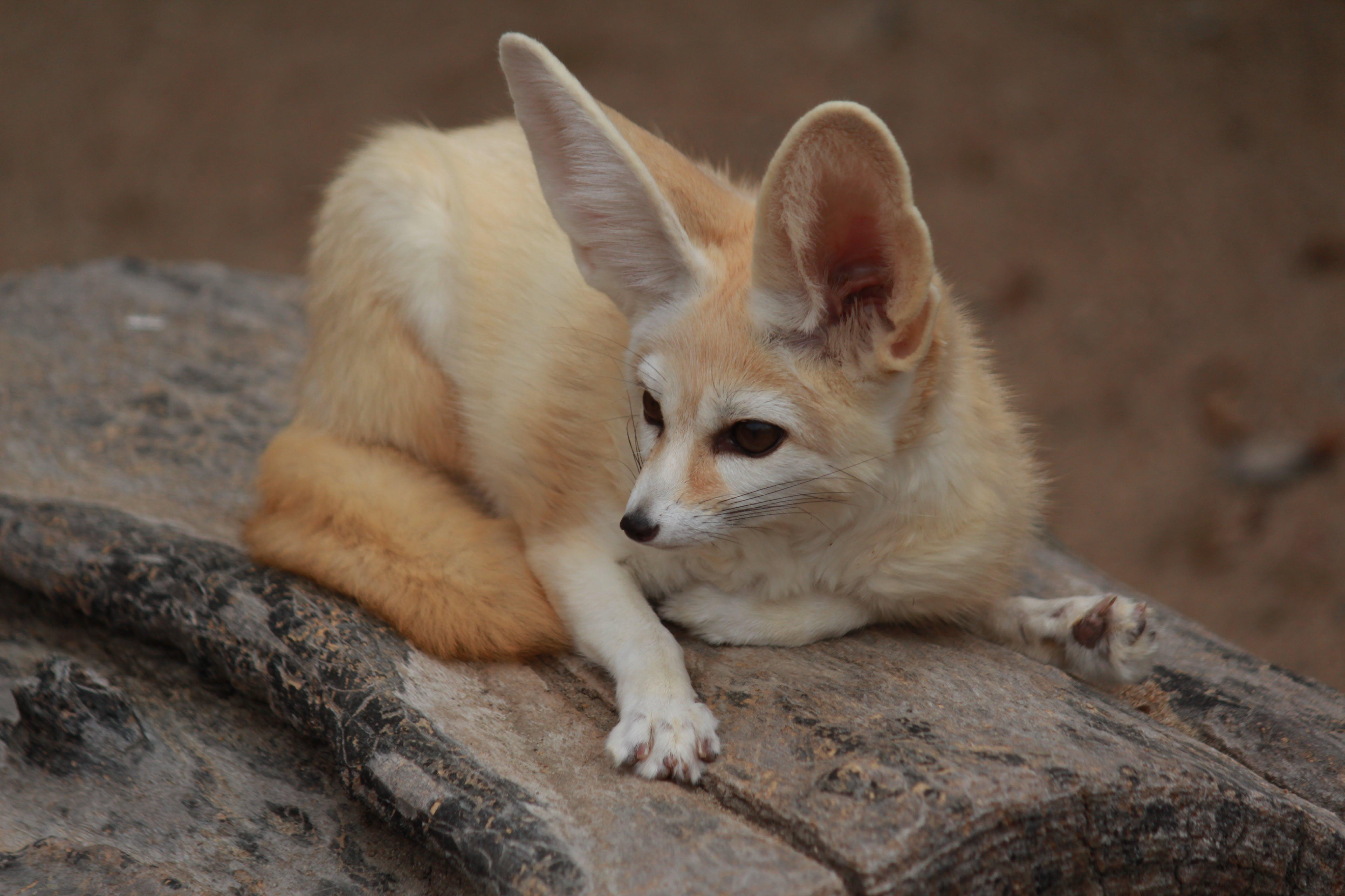 Free stock photo of animal, cute, desert fox