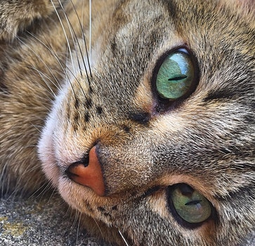 Free stock photo of animal, fur, tiger, cat