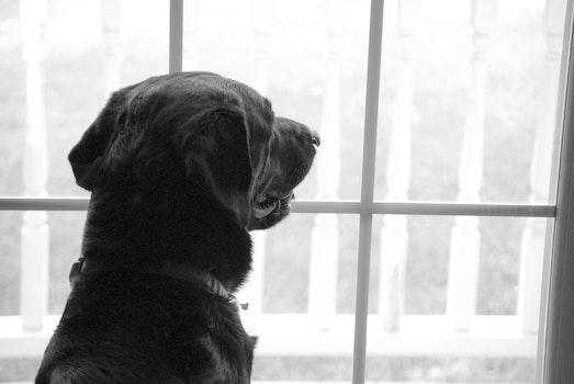 Free stock photo of dog, waiting, window, looking