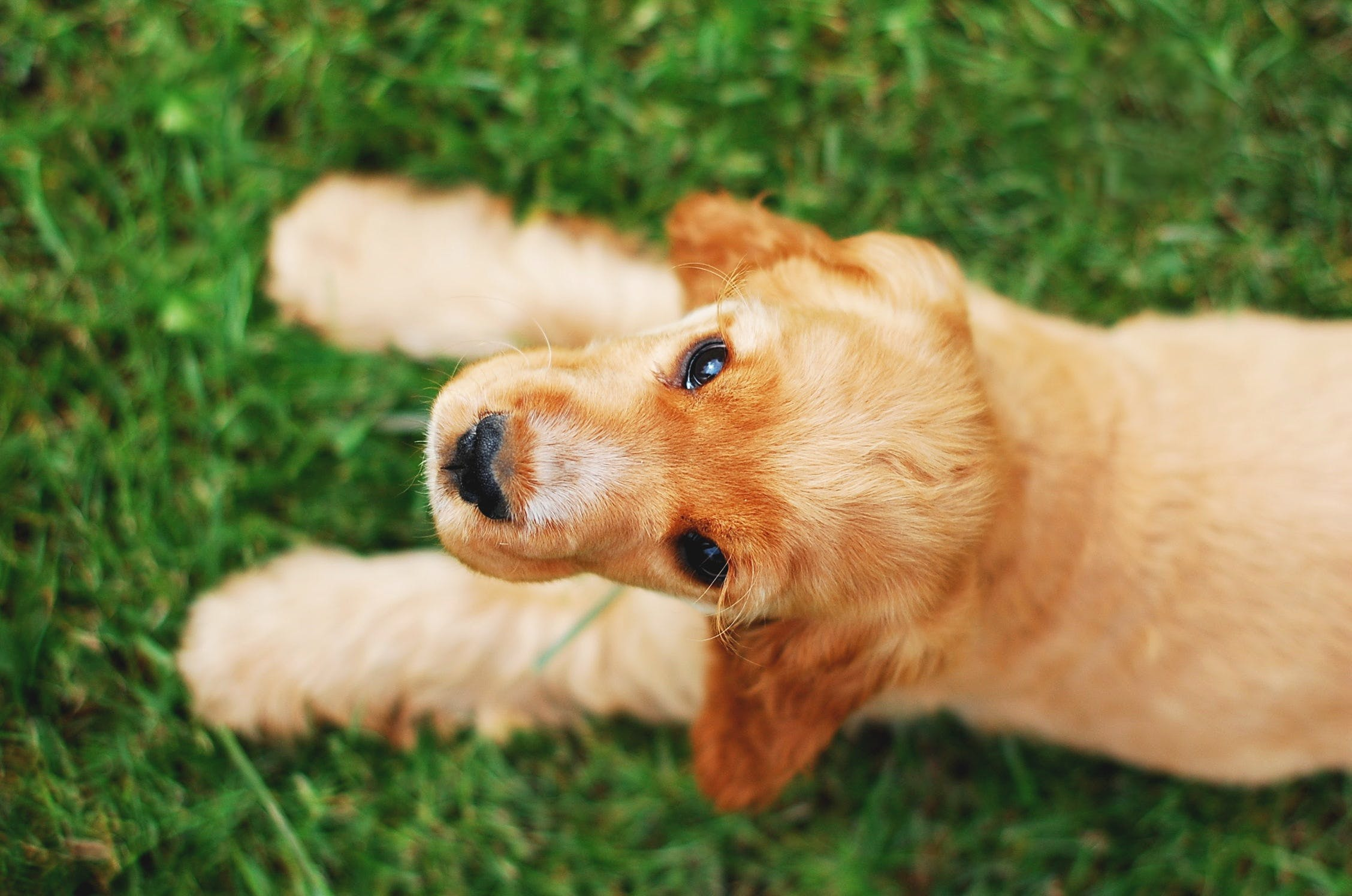 Long-coated Brown Puppy Lying on Grass Field