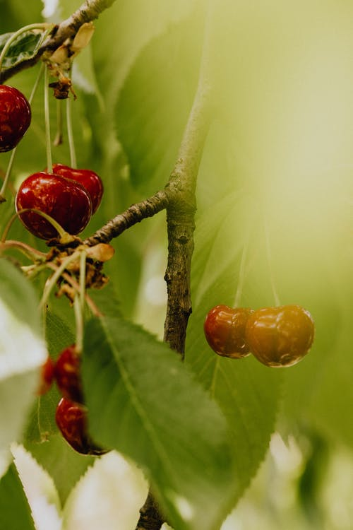 Close-Up Shot of Red Cherries on a Branch