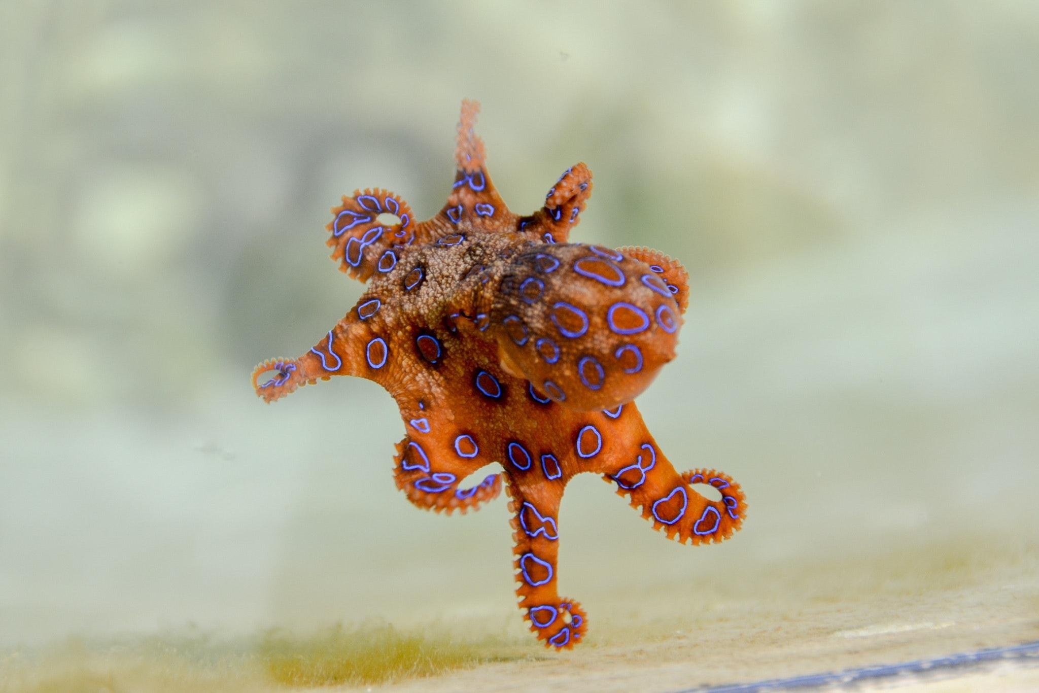 free stock photo of animal blue ringed octopus marine