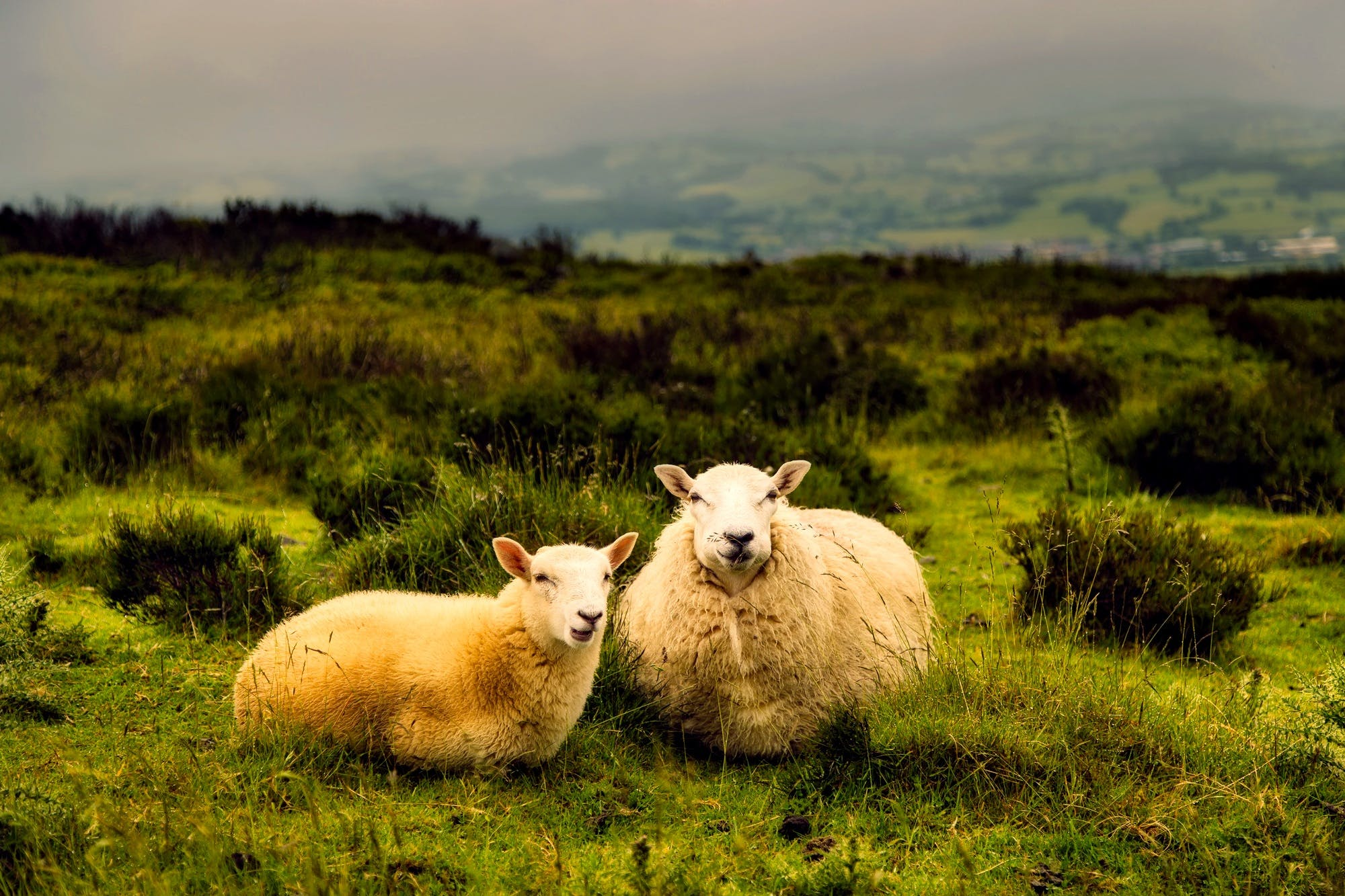 Two White Sheeps