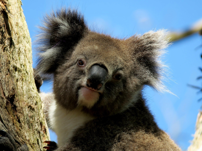 Free stock photo of australia, animal, koala