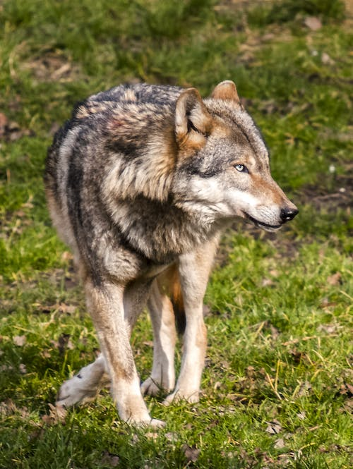 Closeup Photography of Grey and Black Wolf