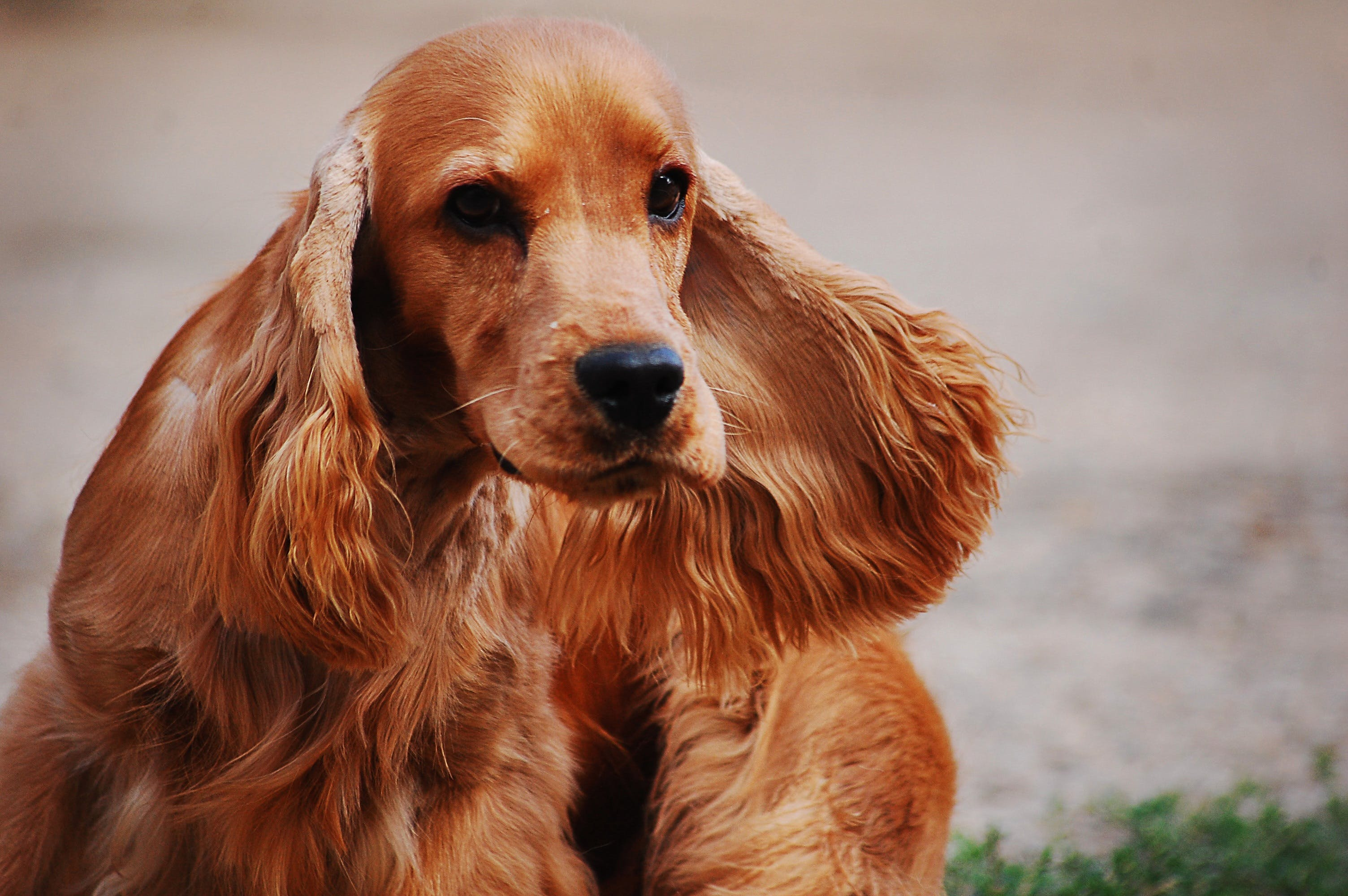 Brown Cocker Spaniel