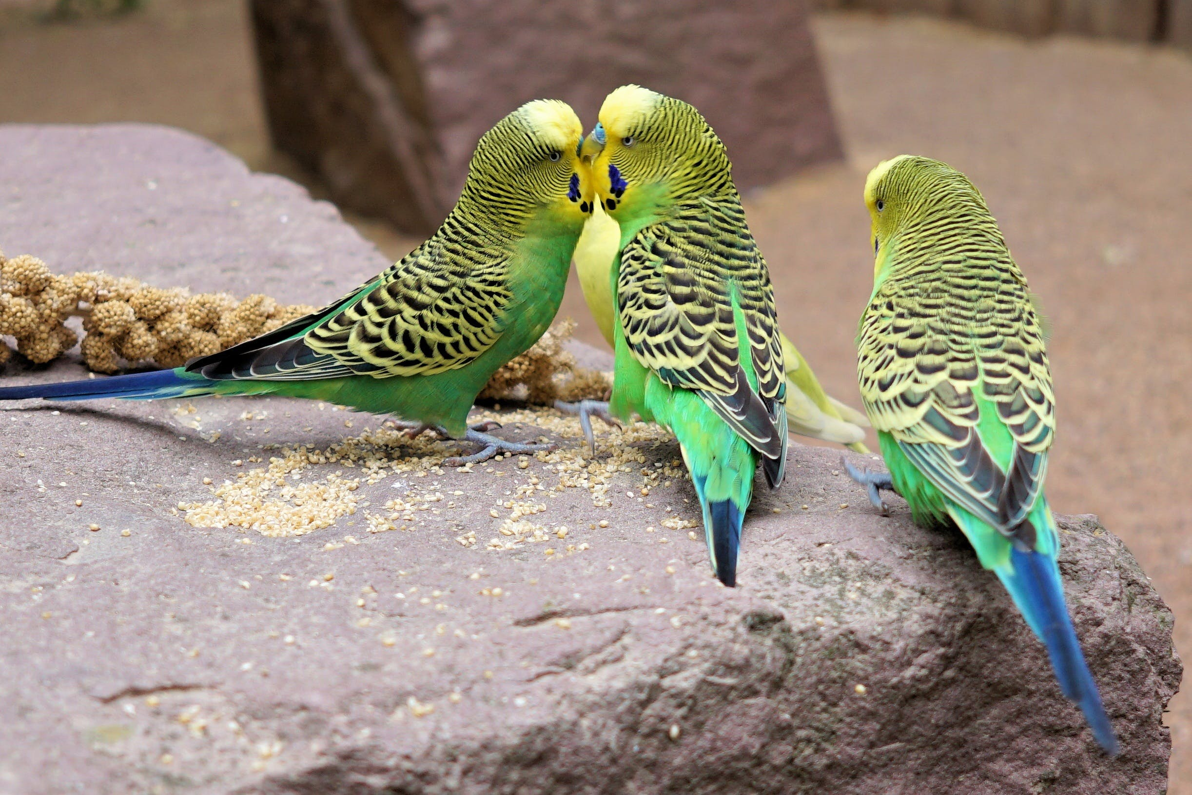 Three Green Parakeets