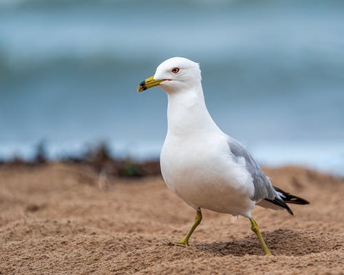 White Larus crassirostris gull on sandy seashore