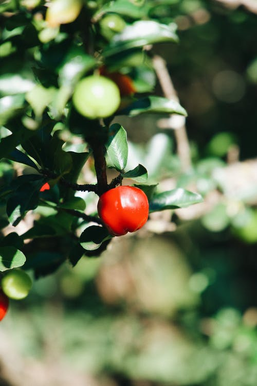 Tropical Barbados cherry tree branch with green leaves and ripe red fruit growing in garden