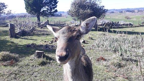 Free stock photo of deer, deer farm, doe