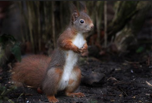 Funny curious red squirrel standing on ground in forest amidst green trees and looking away