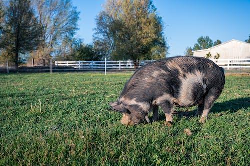 Cute domestic pig eating grass in farm