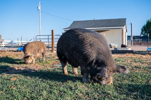 Funny kunekune domestic pigs pasturing in enclosure in farmyard against cloudless blue sky