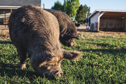 Cute kunekune pigs pasturing on grassy field in farm