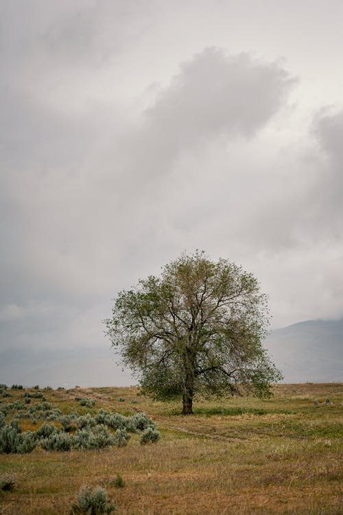 Lonely green tree growing on dry grassy meadow against cloudy gray sky in countryside