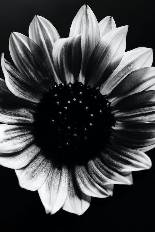 Foto profissional grátis de blume, branco, girassol, monocromático