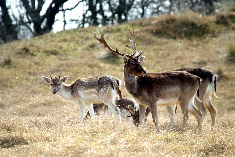 Free stock photo of deer, dunes, nature