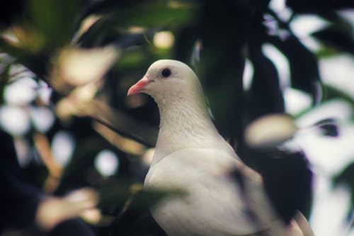 White pigeon on tree with green foliage