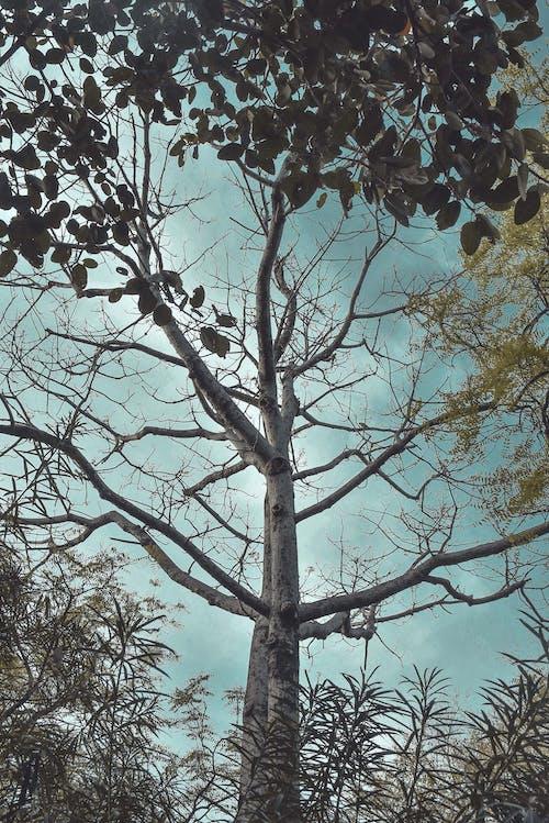 Darmowe zdjęcie z galerii z drzewo, gigantyczne drzewo, kołczan drzewa