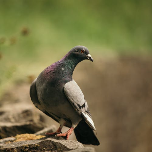 Dove bird with gray wings perching on stone surface on blurred background of greenery