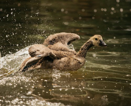 Wild duck swimming in lake and flapping wings