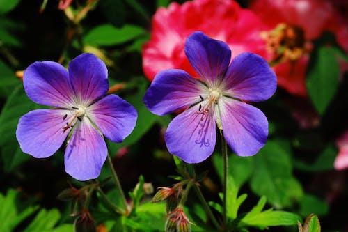Základová fotografie zdarma na téma barevný, barva, botanický, crane's-bill