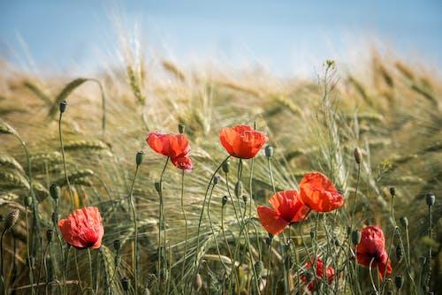 Foto stok gratis alam, berkembang, bidang, biji-bijian