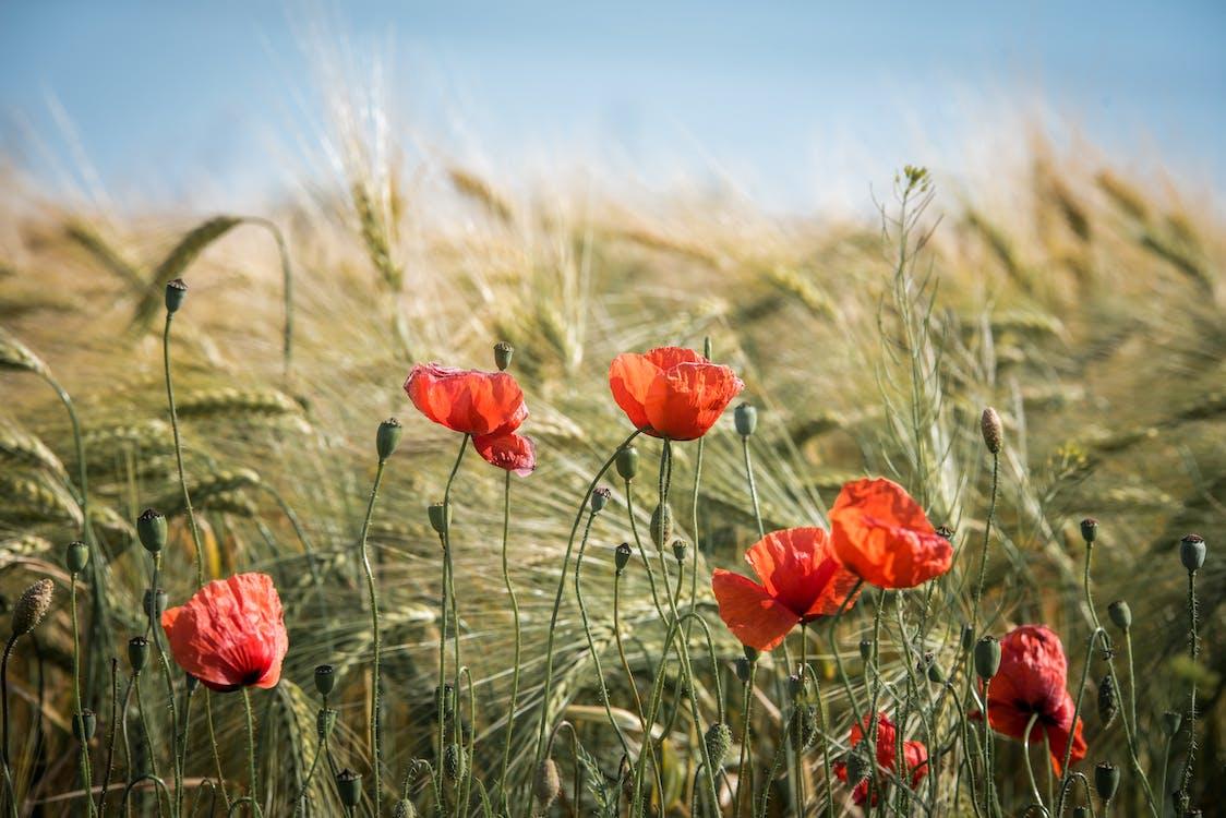 Red Broad Petaled Flowers