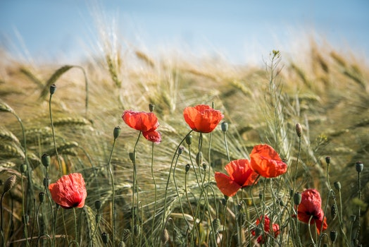 Free stock photo of landscape, nature, red, field