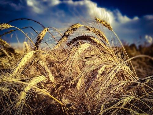 Foto profissional grátis de área, aumento, campo de trigo, canudo