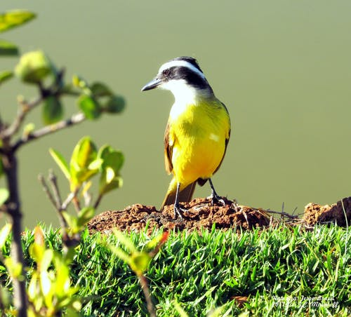 Yellow, White, and Black Bird on Grass