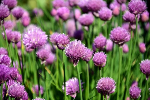 Chives | 63 Amazing Pest And Insect Repellent For Plants You Should Know