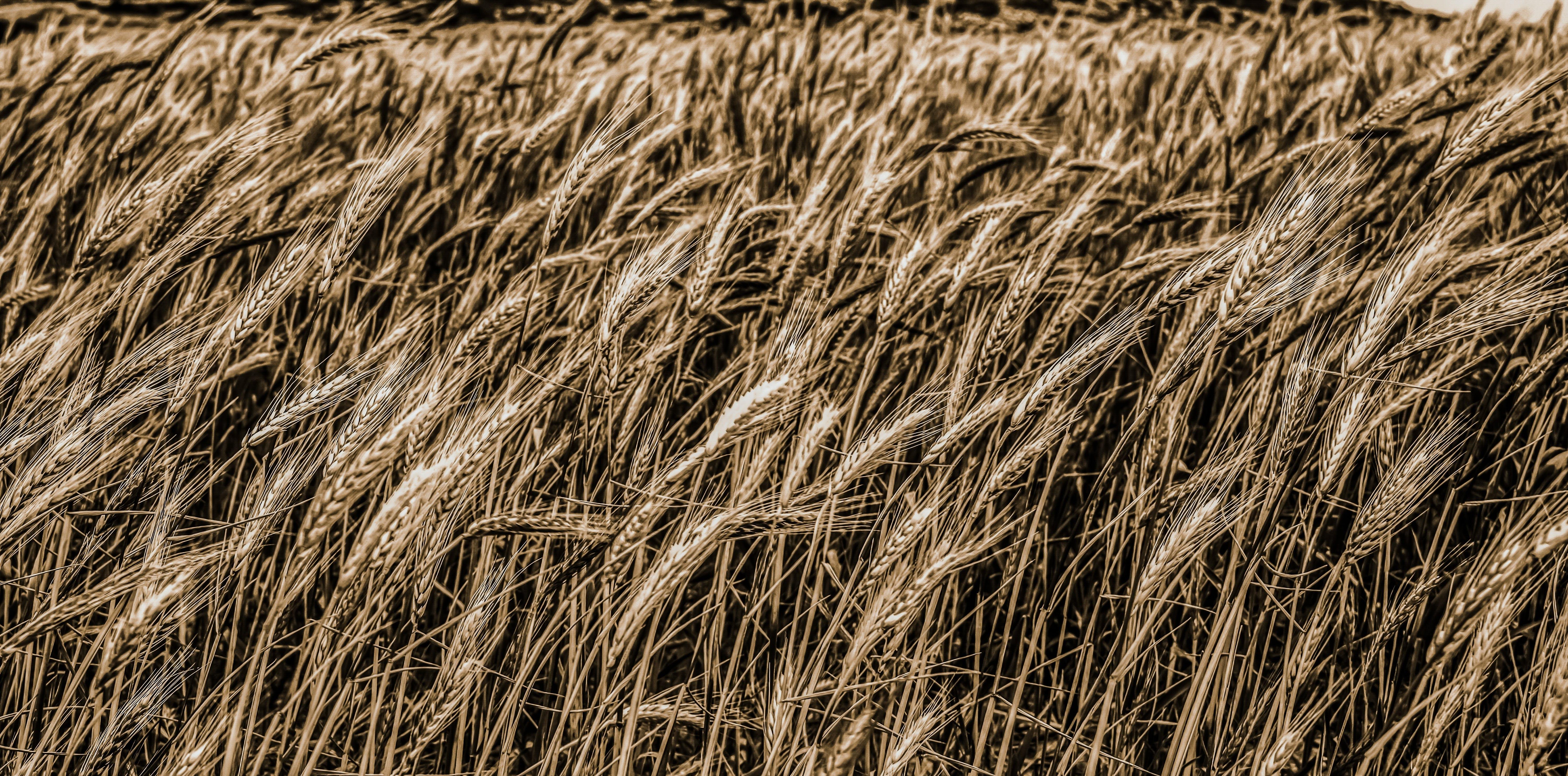 Gratis lagerfoto af afgrøder, agerjord, bane, hvedemark