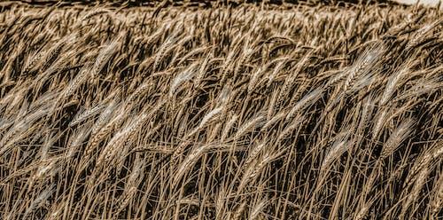alan, bitkiler, buğday tarlası, doğa içeren Ücretsiz stok fotoğraf
