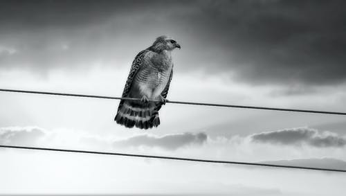 Attentive hawk on wire under cloudy sky