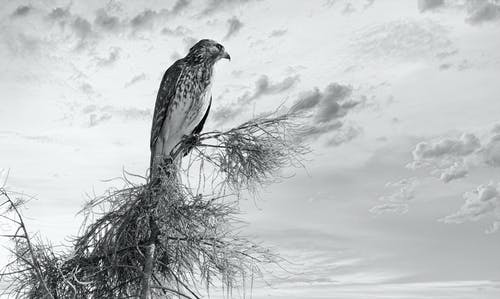 Low angle black and white of attentive predatory bird with ornamental plumage sitting on tree under sky