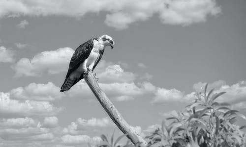 Osprey on wooden beam under cloudy sky