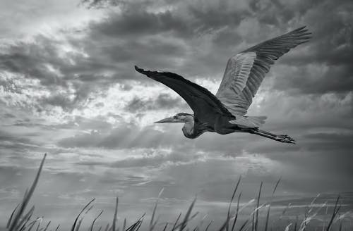 Black and white of big carnivorous bird with spread wings and pointed beak flying in shiny cloudy sky