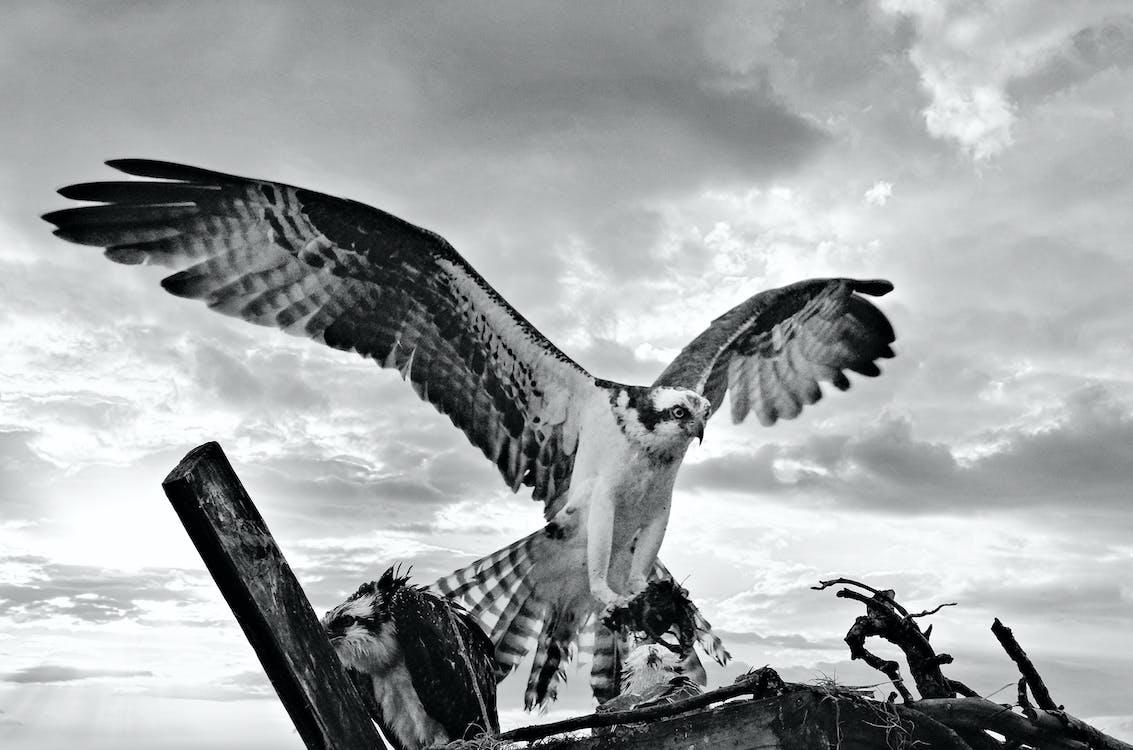 Sea hawk with spread wings under cloudy sky
