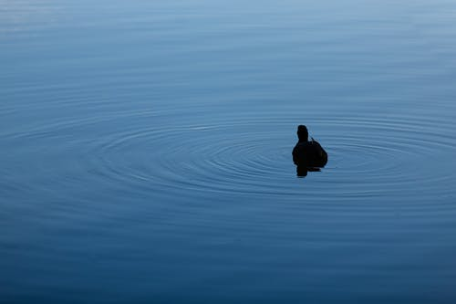 Silhouette of Duck on Water