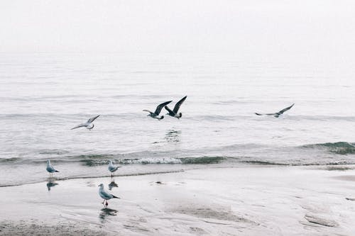 Seagulls flying and walking on sandy beach and ocean