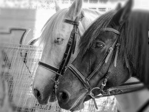 Free stock photo of black horse, horse head, horses, white horse