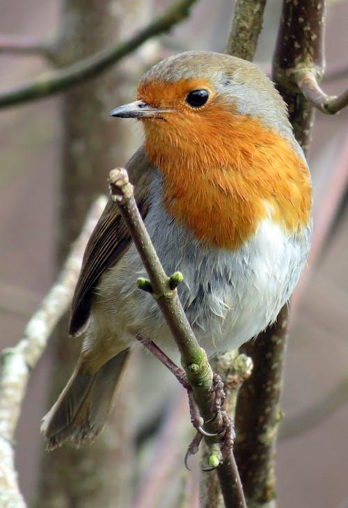 Kostnadsfri bild av djur, erithacus rubecula, europeisk robin, fågel
