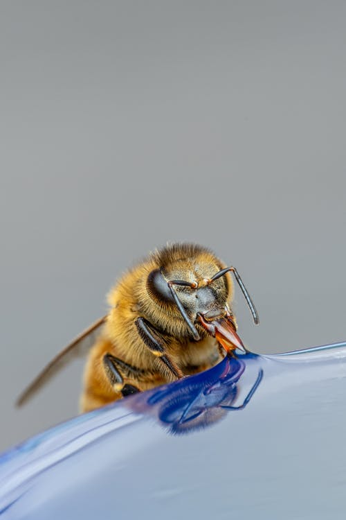 Bee drinking liquid on gray background